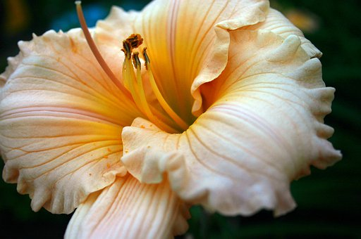 Daylily, Lily, Flower, Closeup, Nature, Garden, Bloom