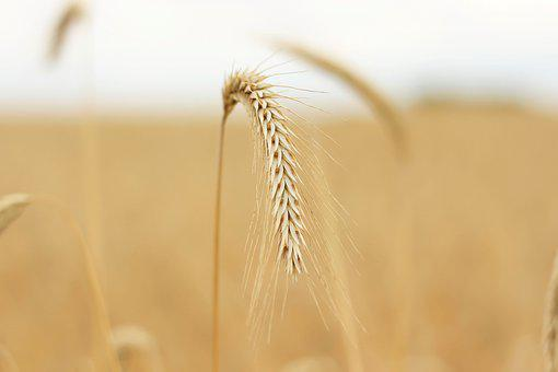 Grain, Cornfield, Crop, Plant, Close Up, Structure