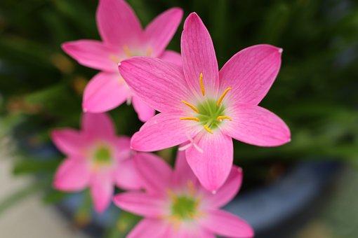 Four Pink Flowers, Cute, Nice, Garden, Outdoor, Welcome