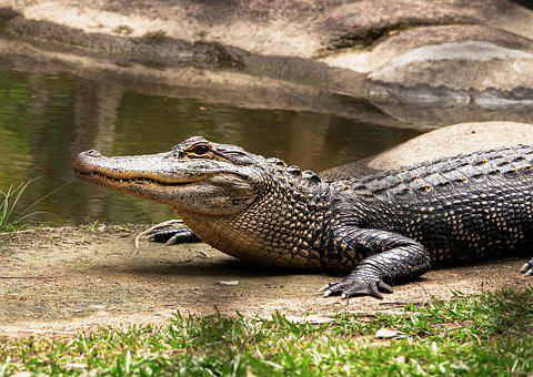 Crocodile, Freshwater, Australian, Reptile, Dangerous