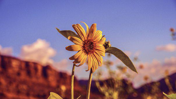 Sunflower, Desert, Yellow, Arizona, Utah, Summer