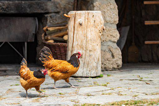 Chickens, Gockel, Hahn, Poultry, Bill, Farm, Bird
