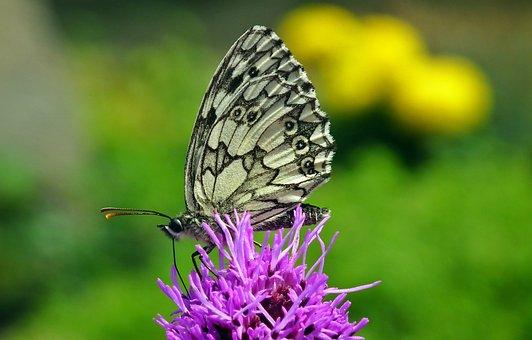 Butterfly, Insect, Flower, Latria Kłosowa, Nature