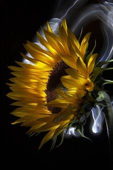 Sunflower, Flower, Yellow, Summer, Blossom, Nature