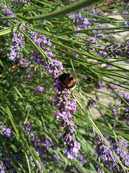 Bumblebee, Lavender, Summer, Flying Insects