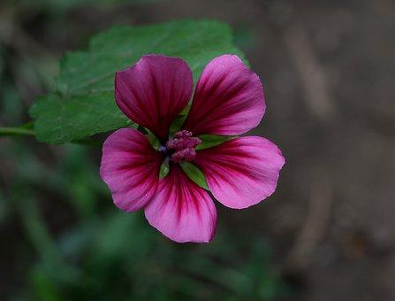 Mallow, Flower, Decorative, Pink, Plant, Garden