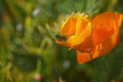 Long Probe Shrink, Gold Poppy, California Kappenmohn
