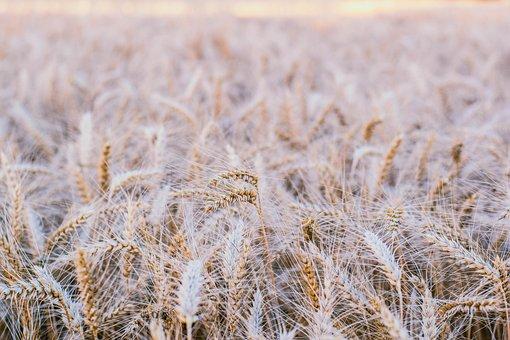 Grain, Field, Landscape, Nature, Summer, Harvest, Farm