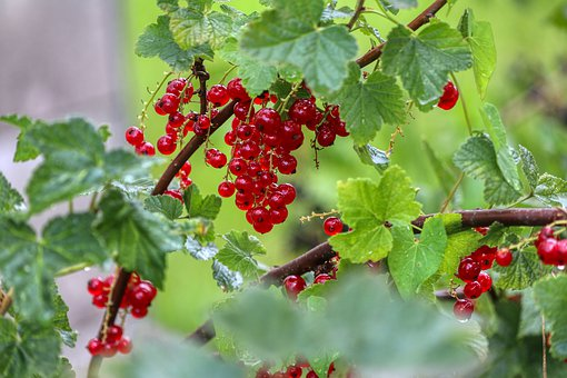 Berries, Currants, Food, Eat, Red, Healthy, Nature