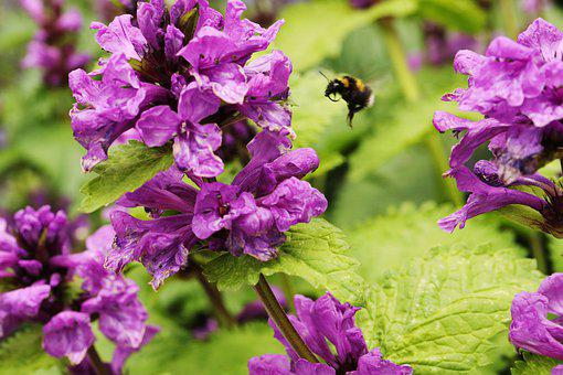Bumblebee, Insect, Botanical, Nature, Flower, Summer