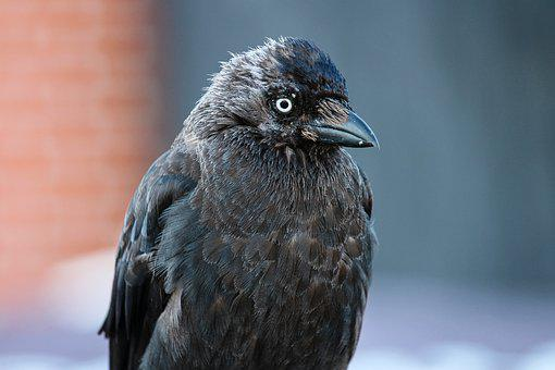 Jackdaw, Coloeus Monedula, Raven Bird, Songbird, Bird