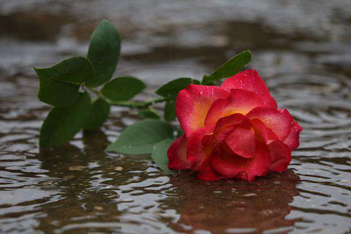 Red Yellow Rose In Rain, Lost Love, Left In Silence