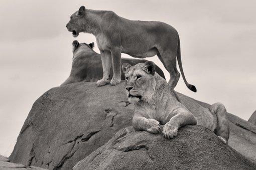 Lions, Zoo, Emmen, Predator, Feline, Dangerous, Africa