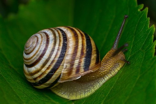 Snail, Mollusc, Animals, The Clams, Nature, Spiral