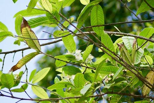 Flower Of Guava, Fruit Tree, Rain Harb, Nature