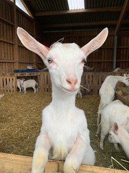 Goat, Goat Farm, Farm, Protruding Ears, Stall, Nature