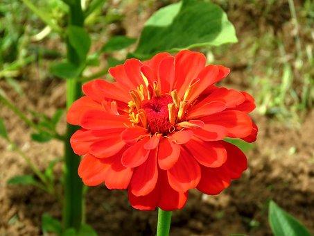 Flower, Zinnia, Bloom, Colorful, Nature, Flora, Summer