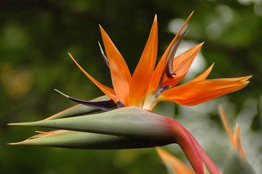 Orange, Plant, Flower, Exotic, Plants, Nature, Garden