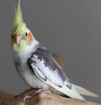 Cockatiel, Parrot, Bird, Pet, Animal, Australia, Avian