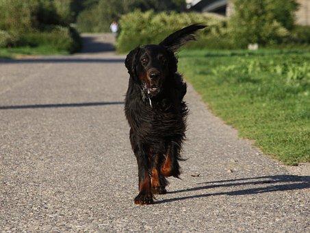 Dog, Setter, Gordon, Animal, Pet, Run, Race