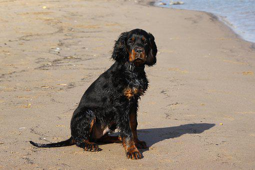 Dog, Setter, Gordon, Animal, Pet, Water, Swim, Rhine