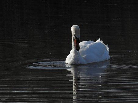 Birds, Swan, Nature, Portrait