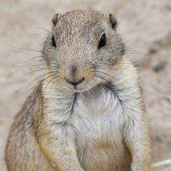Prairie Dog, Squirrel, Rodent, Animals, Nature, Curious