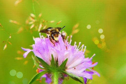 Bee Miodna, Pszczołowate, Apiformes, Flower, Forest