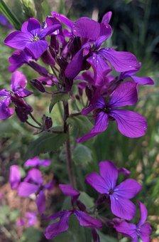 Spring, Flowers, Violet, Purple, Nature, Perfume