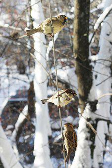 Sparrows, Winter, Russia, Mood, Sentiment