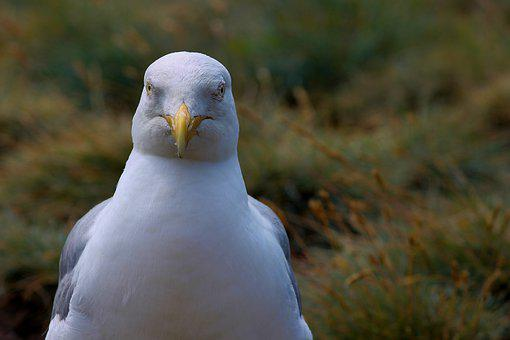 Seagull, Close Up, View, Head, Seevogel, Water Bird