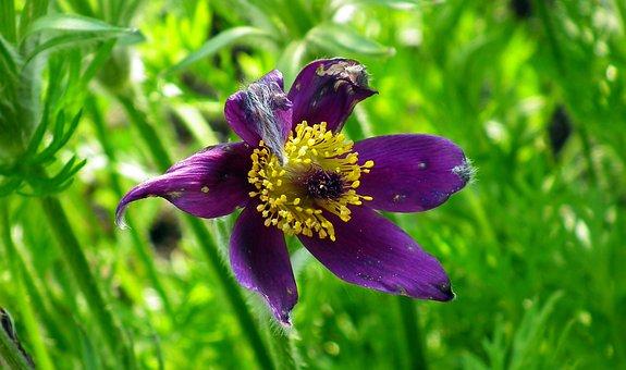 Anemone, Flower, Garden, Spring, Nature, Macro