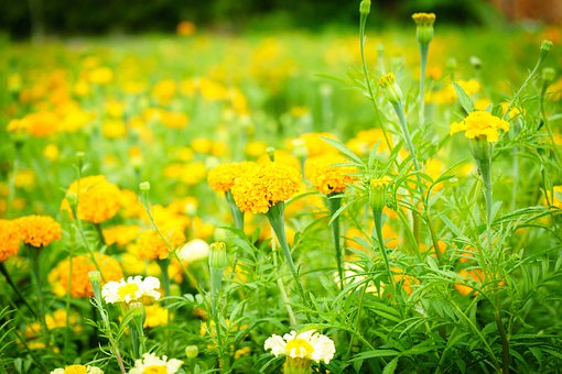 Daisy Flowers, Nature, Bloom, Spring, Daisies, Blossom