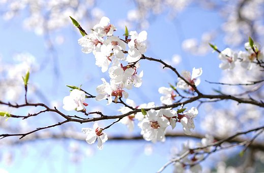 Cherry Blossoms, Cherry, Spring, Flowers, White, Branch