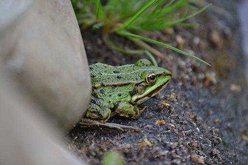 Frog, Pond Edge, Stone, Amphibians, Amphibian, Green