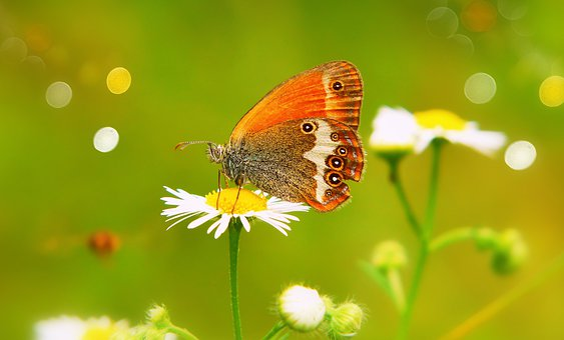 Strzępotek Perełkowiec, Female, Butterfly Day, Insect