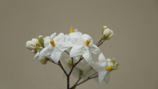 White Jasmine, Summer Jasmine, Flowers, White, Bloom