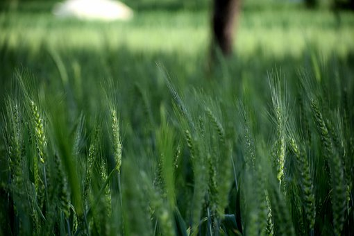 Wheat, Field, Plants, Agriculture, Nature, Summer