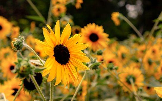 Sunflower, Garden, Botanic, Bloom, Yellow, Summer