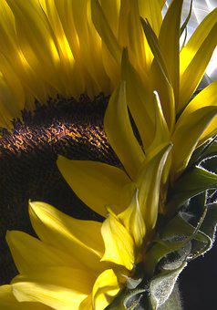 Sunflower, Flower, Earth, Nature, Mother Nature, Yellow