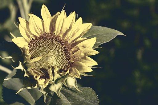 Sunflower, Bloom, Flower, Sunny, Seeds, Background