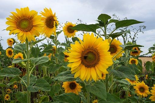 Sunflower, Flowers, Yellow, Bee, Summer, Bright