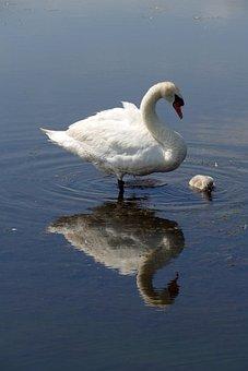 Swan, Bird, Fauna, Young, Reflection, Water, Waterfowl