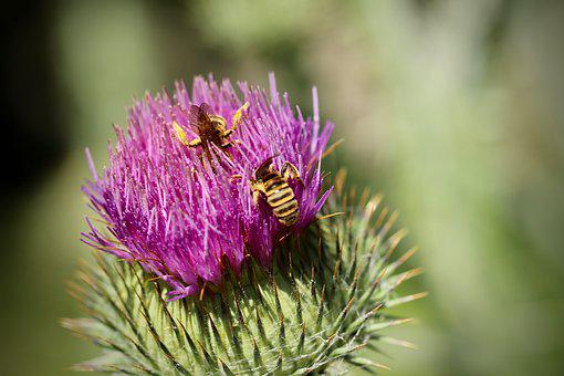 Thistle, Blossom, Bloom, Insect, Wasps, Purple, Flower