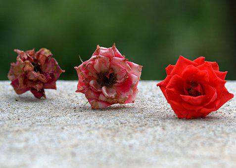 Roses, Three, Evolution, Red, Flower, Plants