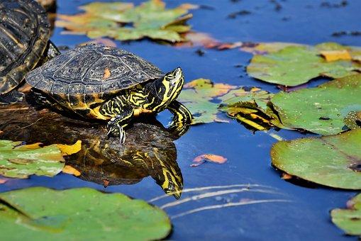 Turtles, Reptile, Tortoise Shell, Animal, Water Turtle