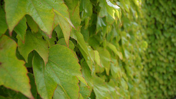 Leaf, Green, Wall, Nature, Leaves, Spring, Plant