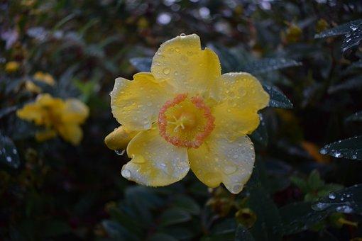 Yellow, Flower, Water, Drops, Nature, Garden, Plant