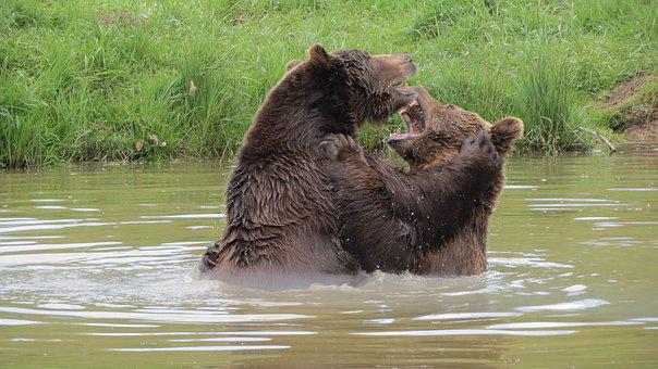 Brown Bear, Zoo, Weilburg