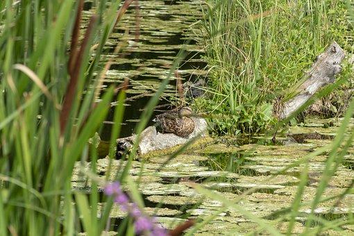 Mallard Duck, Teal, Duck, Wild Ducks, Waterfowl, Bird